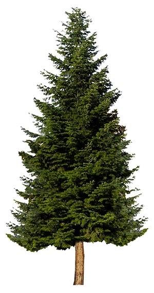 Evergreen Tree_3